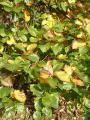 Sorbus pseudolatifolia51.jpg