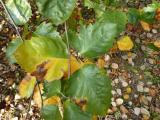 Sorbus pseudolatifolia52.jpg