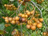Sorbus pseudolatifolia41.JPG