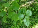 Sorbus bakonyensis (10).JPG