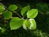 Sorbus bakonyensis (2).JPG