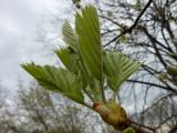 Sorbus rotundifolia6.JPG