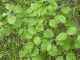 Sorbus rotundifolia15.JPG