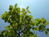 Sorbus rotundifolia21.JPG