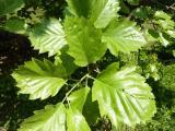 Sorbus rotundifolia22.JPG