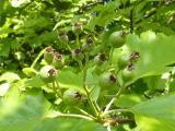 Sorbus rotundifolia23.JPG