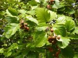 Sorbus rotundifolia25.JPG