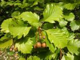 Sorbus rotundifolia26.JPG