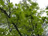 Sorbus rotundifolia17.JPG