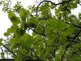 Sorbus rotundifolia18.JPG