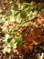 Sorbus rotundifolia37.jpg