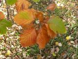 Sorbus rotundifolia39.jpg