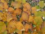 Sorbus rotundifolia40.jpg