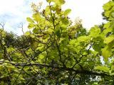 Sorbus rotundifolia30.JPG