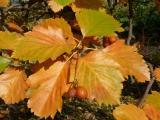 Sorbus rotundifolia34.jpg