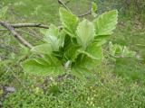 Sorbus borbasii7.JPG