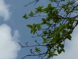 Sorbus borbasii14.JPG