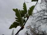 Sorbus borbasii21.JPG