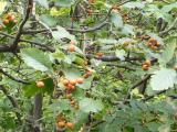 Sorbus dacica10.JPG