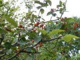 Sorbus dacica5.JPG