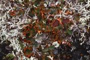 Solorina crocea 1.jpg