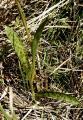 Dactylorhiza lapponica Eberg?c 2013.JPG