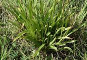 Gymnadenia densiflora Zalaegerszeg 2014.06.28..JPG