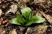Orchis pallens Derek 2013.04.09..JPG