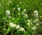 FO Bels? kaszáló4 fehér Thymus.jpg