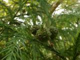Cryptomeria japonica (1).JPG