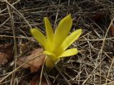 Sternbergia (2).JPG