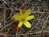 Sternbergia (3).JPG