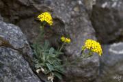 Aurinia saxatilis 1.jpg