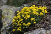 Aurinia saxatilis 2.jpg