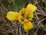Iris arenaria (homoki nőszirom) DSCF8784 - Hajós 2011. 04. 15..JPG