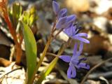 tavaszicsillagvirág4.jpg