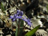 tavaszicsillagvirág2.jpg
