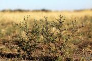 Pulicaria vulgaris 1.jpg