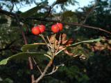 Sorbus subdanubialis a2.jpg