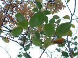 Sorbus subdanubialis a4.jpg