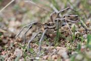9 15 13 Szongáriai csel?pók Lycosa singoriensis Pákozd 89.JPG