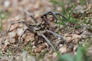 9 15 13 Szongáriai csel?pók Lycosa singoriensis Pákozd 92.JPG