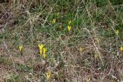 9 15 13 Vet?virág Sternbergia colchiciflora Pákozd 79.JPG