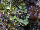 solorina saccata (1).JPG