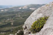 Euphorbia spinosa 1.jpg