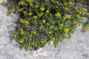 Euphorbia spinosa 2.jpg