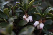 Arctostaphylos uva-ursi 1.jpg