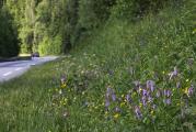 103 Dactylorhiza fuchsii 1.jpg