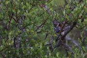 506 Luscinia svecica 10.jpg