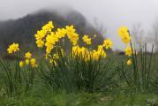 513 Narcissus jonquilla.jpg
